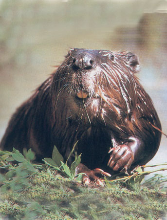 That's right, BEAVER!!!
