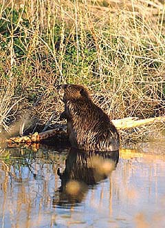Beaver shot, outdoors!
