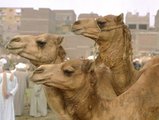Camel market Paul Cockrell