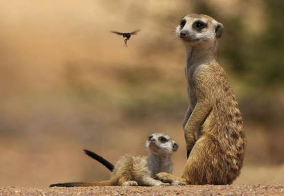 Fairy and Meerkats