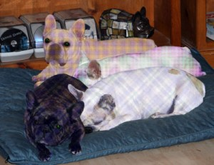 Plaidies, Plaid French Bulldogs