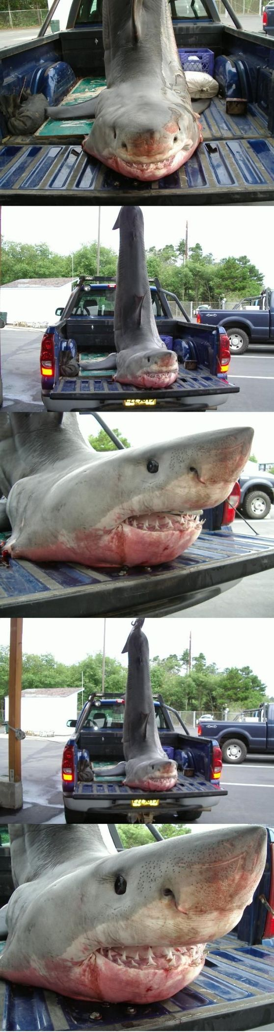 Great White Shark from Depoe Bay Oregon