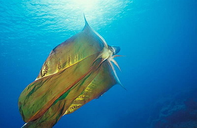 Blanket octopus and NO THAT IS NOT A MICHAEL JACKSON REFERENCE
