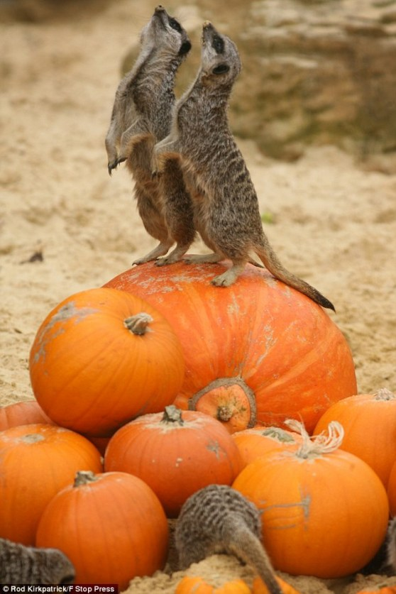 Meerkats attack the Great Pumpkin! and his kin! Fucking Meerkats
