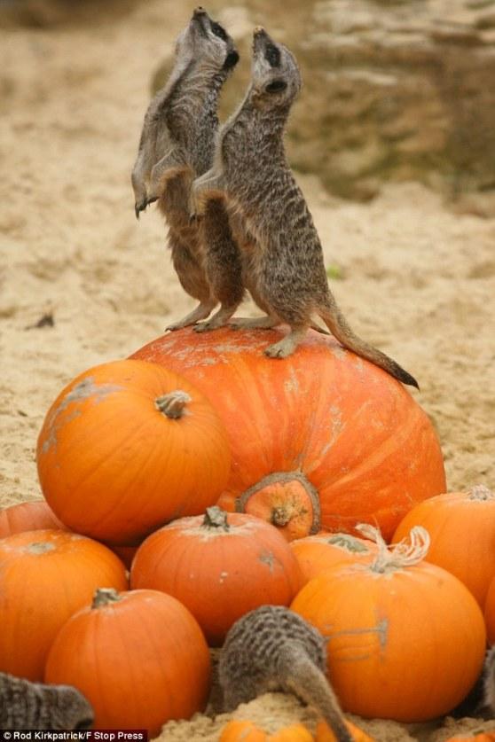 Meerkats attack the Great Pumpkin! and his kin! Fucking Meerkats