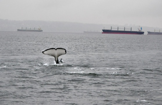 Orca whale tail flip in English Bay