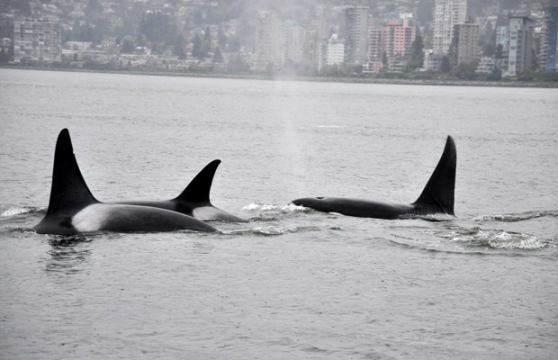 Orcas in the West Endq