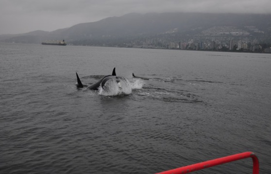 Orcas with North Van in background