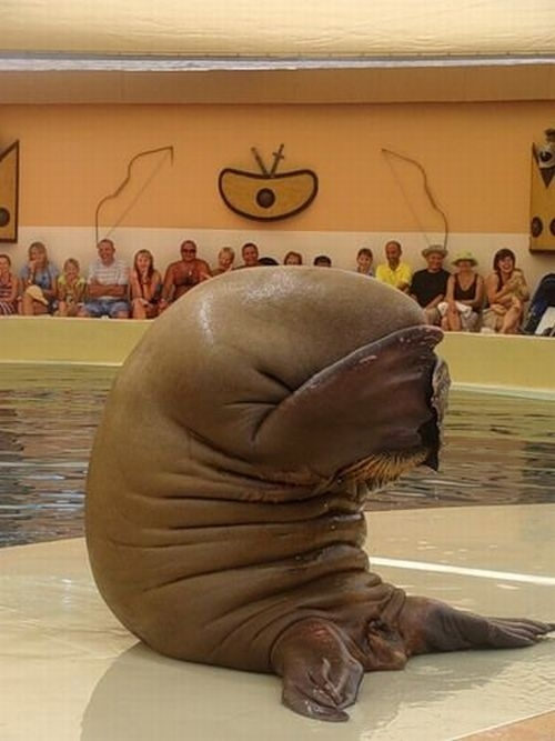 sad walrus is embarrassed for you